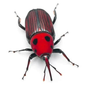 A red weevil, one of the many pests that can harm trees.