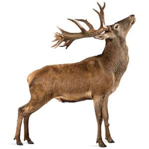 A brown deer, prone to damaging tree health